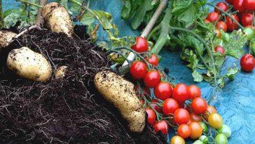 """""""La pomate"""", découvrez cet aliment du future, une HYBRIDE entre tomate et patate"""
