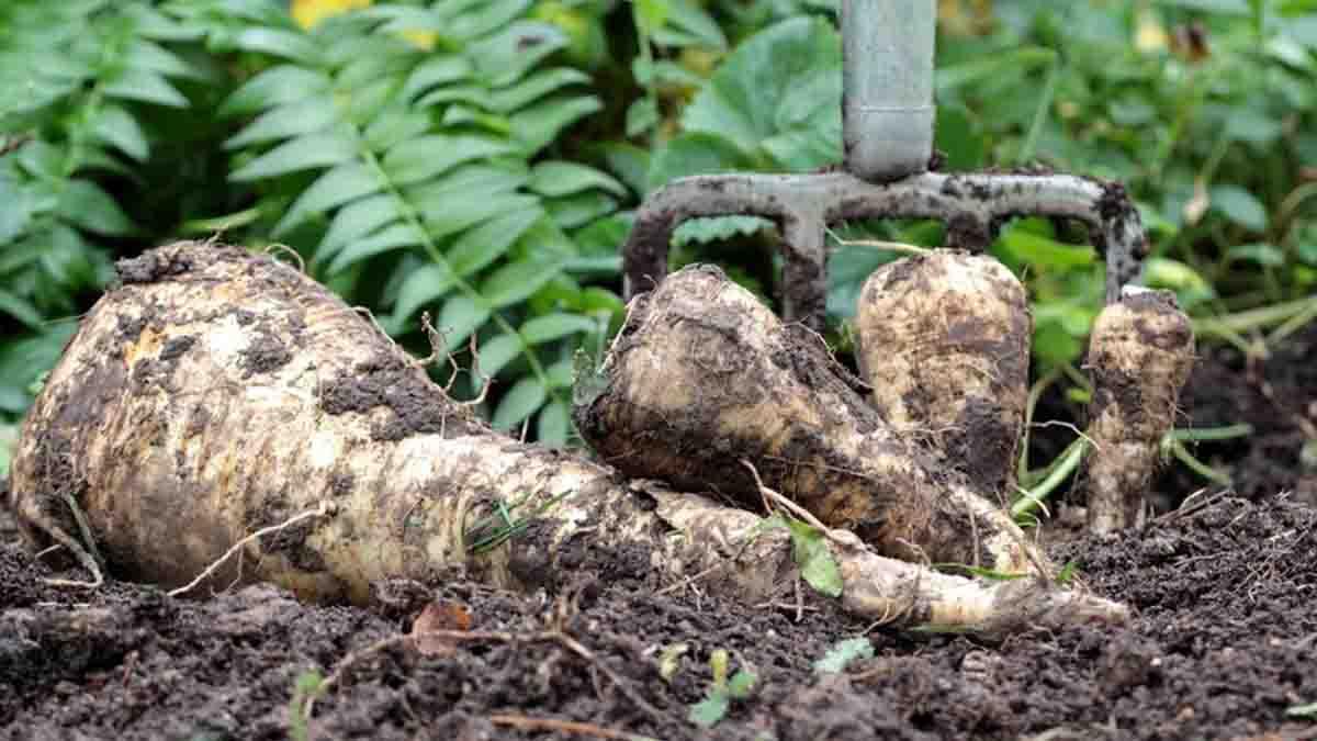 Légumes oubliés : 7 variétés à cultiver dans votre potager